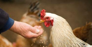 A loucura das galinhas de granja