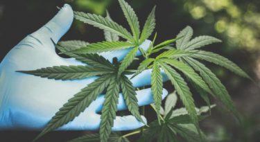 Estude o mercado de cannabis hoje para atender seu cliente amanhã